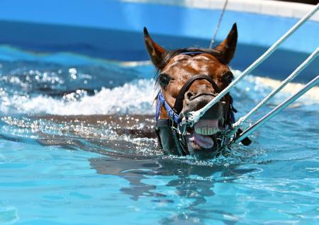 プールで泳ぐ療養中の競走馬=24日午後、福島県いわき市