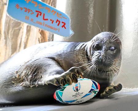 小さなラグビーボールを持つバイカルアザラシ「アレックス」=26日午後、仙台市の「仙台うみの杜水族館」
