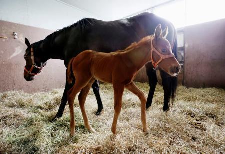 北海道静内農業高校で生まれたディープインパクトの孫の牡馬。奥は母馬ナリタトップスター=4月、北海道新ひだか町
