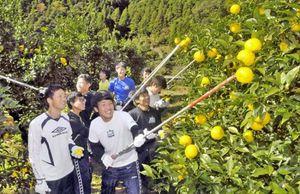 高知大サッカー部 馬路村でユズ収穫に貢献